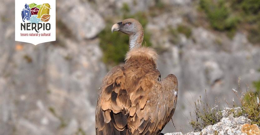 Nerpio, reclamo turístico para los aficionados a la ornitología